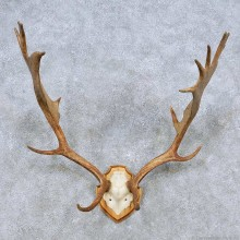 Fallow Deer Antler Plaque Taxidermy Mount For Sale #14495 @ The Taxidermy Store