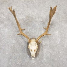 Fallow Deer Antler Plaque Taxidermy Mount For Sale #20050 @ The Taxidermy Store