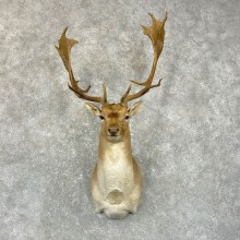 Fallow Deer Shoulder Mount For Sale #24946 @ The Taxidermy Store