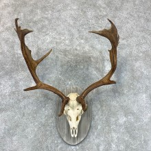 Fallow Deer Skull Antler European Mount For Sale #22650 @ The Taxidermy Store