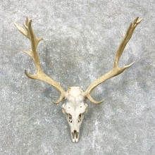 Fallow Deer Skull Antler European Mount For Sale #24020 @ The Taxidermy Store