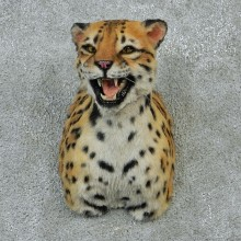 Female Ocelot Taxidermy Shoulder Mount #12902 For Sale @ The Taxidermy Store