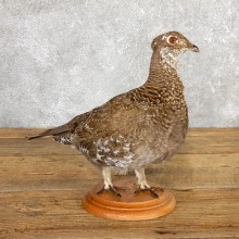 Female Blue Grouse Bird Mount For Sale #19784 @ The Taxidermy Store
