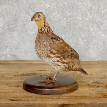 Bobwhite Quail Bird Mount For Sale #19794 @ The Taxidermy Store