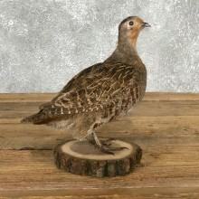 Hungarian Partridge Bird Mount For Sale #19798 @ The Taxidermy Store