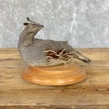Female California Quail Bird Mount For Sale #23914 @ The Taxidermy Store