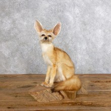 Fennec Fox Life-Size Mount For Sale #18573 @ The Taxidermy Store