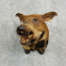 Feral Boar Shoulder Mount For Sale #17638 @ The Taxidermy Store