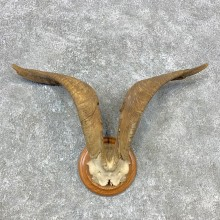 Feral Goat Plaque Mount For Sale #23281 @ The Taxidermy Store