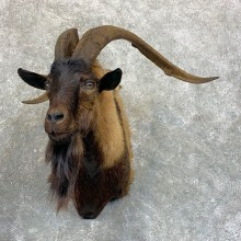 Feral Goat Taxidermy Shoulder Mount For Sale