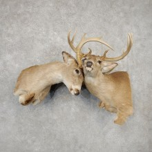Fighting Whitetail Deer Shoulder Mounts #21089 For Sale @ The Taxidermy Store