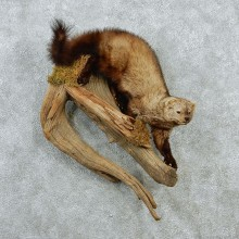 Climbing Fisher Life-Size Taxidermy Mount #12867 For Sale @ The Taxidermy Store