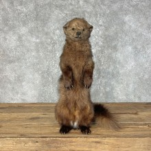 Fisher Life-Size Taxidermy Mount For Sale