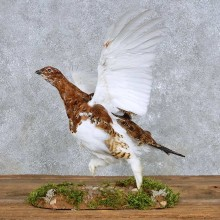 Standing Willow Ptarmigan Mount For Sale #14154 @ The Taxidermy Store