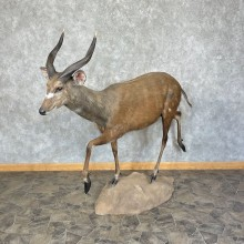 Forest Sitatunga Taxidermy Life-Size Mount For Sale
