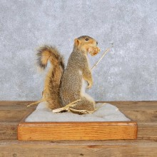 Standing Fox Squirrel Mount For Sale #14152 @ The Taxidermy Store