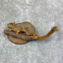 Fox Squirrel Life-Size Mount For Sale #22949 @ The Taxidermy Store
