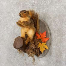 Fox Squirrel Mount For Sale #20137 @ The Taxidermy Store