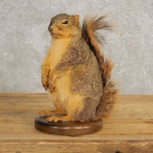 Fox Squirrel Mount For Sale #21246 @ The Taxidermy Store