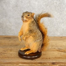 Fox Squirrel Mount For Sale #21248 @ The Taxidermy Store