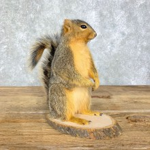 Fox Squirrel Mount For Sale #21681 @ The Taxidermy Store