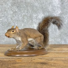 Fox Squirrel Mount For Sale #22910 @ The Taxidermy Store