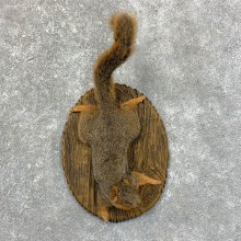 Fox Squirrel Mount For Sale #23562 @ The Taxidermy Store