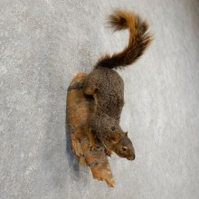 Fox Squirrel Taxidermy Mount For Sale #21147 @ The Taxidermy Store