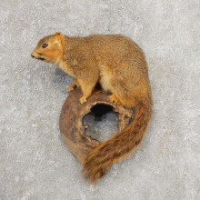 Fox Squirrel Taxidermy Mount For Sale #21156 @ The Taxidermy Store