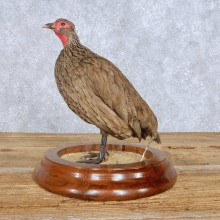Francolin Bird Mount For Sale #14830 @ The Taxidermy Store