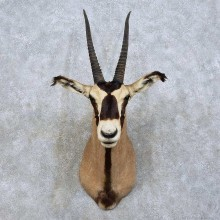 Fringe-eared Oryx Shoulder Mount For Sale #15832 @ The Taxidermy Store