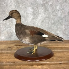 Gadwall Duck Bird Mount For Sale #20364 @ The Taxidermy Store