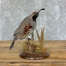 Gambel's Quail Bird Mount For Sale #22331 @ The Taxidermy Store