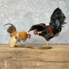 Gamecock Roosters Taxidermy Bird Mount For Sale
