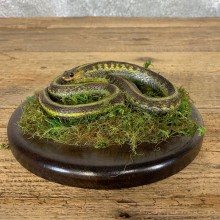 Garter Snake Taxidermy Mount For Sale #21546 @ The Taxidermy Store