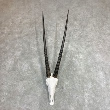 Gemsbok Skull Horns European Mount #21972 For Sale @ The Taxidermy Store