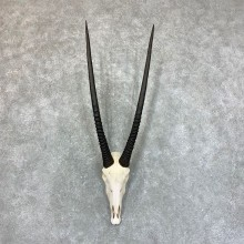 Gemsbok Skull Horns European Mount #22732 For Sale @ The Taxidermy Store