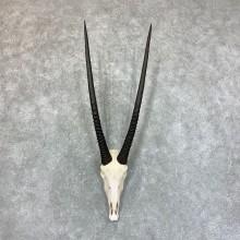 Gemsbok Skull Horns European Mount #22732 For Sale @ The Taxidermy Store