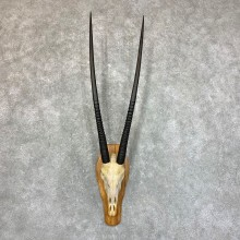 Gemsbok Skull Horns European Mount #22733 For Sale @ The Taxidermy Store