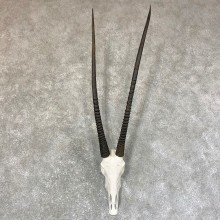 Gemsbok Skull European Taxidermy Mount For Sale