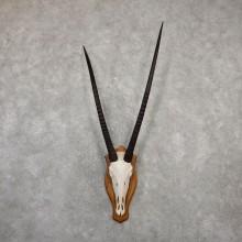 Gemsbok Skull Horns European Plaque Mount #20062 For Sale @ The Taxidermy Store
