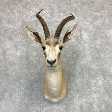 Goitered Gazelle Taxidermy Shoulder Mount For Sale