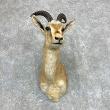 Goitered Gazelle Taxidermy Shoulder #22130 - For Sale @ The Taxidermy Store