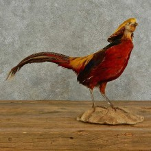 Golden Pheasant Bird Mount For Sale #16943 @ The Taxidermy Store
