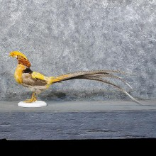 Golden Pheasant Cross Mount #11737 - The Taxidermy Store