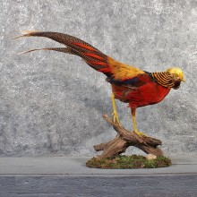 Golden Pheasant Bird Mount #11487 - For Sale - The Taxidermy Store