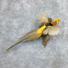 Golden Pheasant Mount For Sale #23371 @ The Taxidermy Store