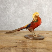 Golden Pheasant Taxidermy Bird Mount #20769 For Sale @ The Taxidermy Store