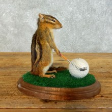 Golfing Squirrel Novelty Mount For Sale #18464 @ The Taxidermy Store