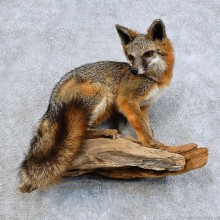 Gray Fox Life-Size Mount For Sale #15984 @ The Taxidermy Store